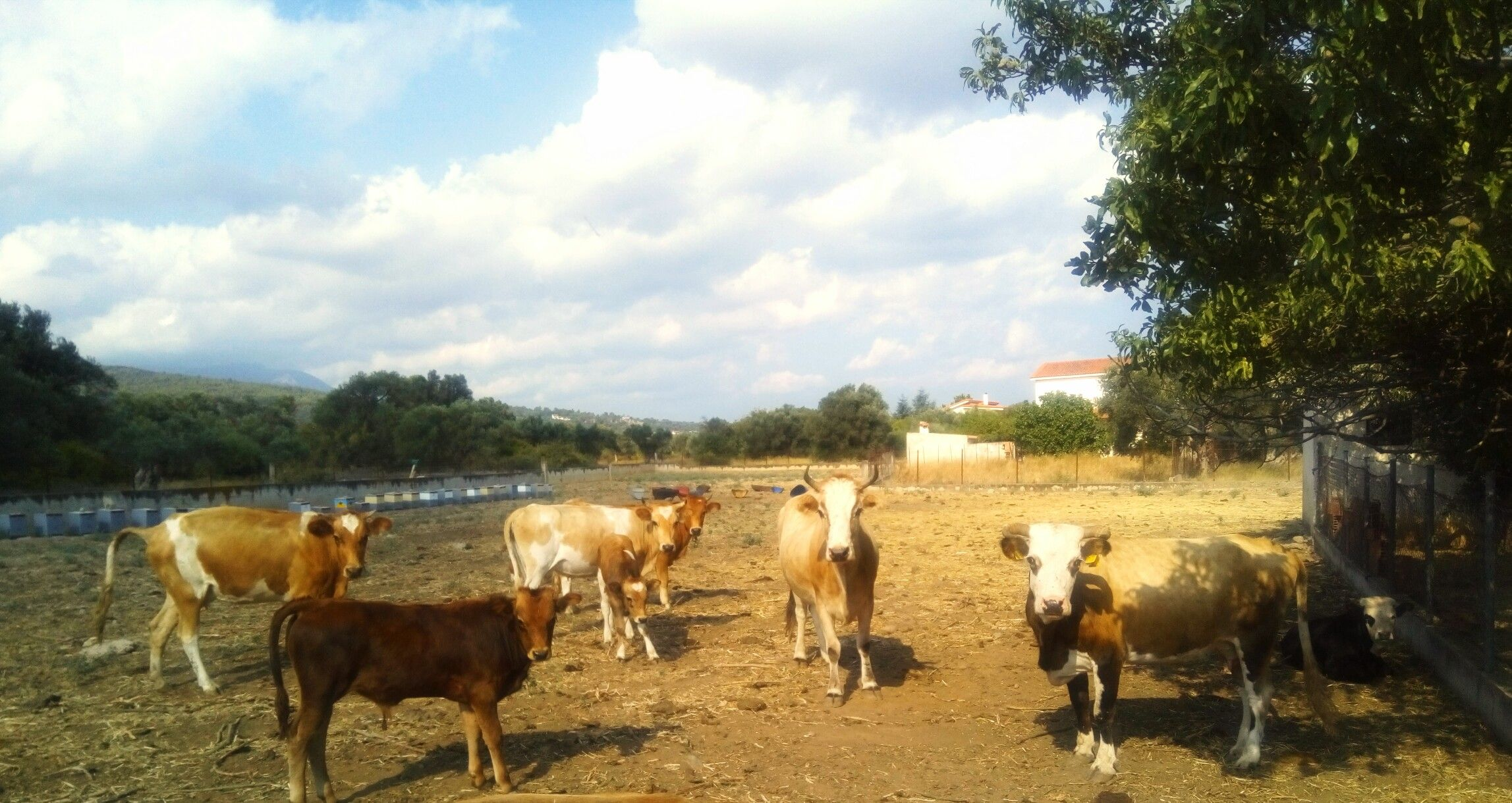 Cows in farm background